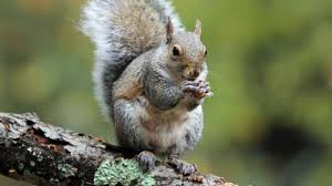 Grey Squirrel Age Chart 11 Bushy Tailed Facts About Eastern Gray Squirrels Mental