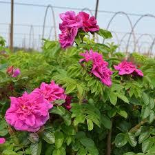 hansa hybrid rugosa rose overview