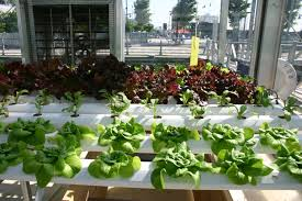 indoor hydroponic vegetable herb gardening