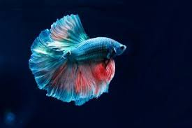 Betta Fish Chart Betta Fish The Beautiful And Very Popular Siamese