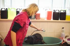 woman showering a dog in bathtub at dog care center stock photo