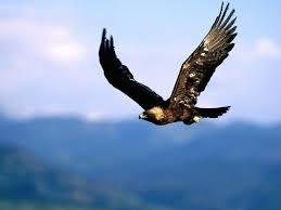 golden eagles flying. Wonderful Golden Golden Eagle Flying Intended Eagles R