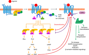 Gpcr Signaling G Protein Coupled Receptors In Heart Disease Circulation