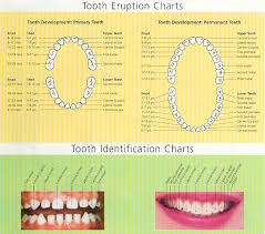 Tooth Eruption Chart San Jose Ca When Do Teeth Come In