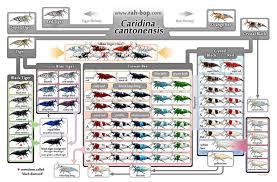 32 Abiding Shrimp Cross Breeding Chart