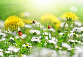 Pampeliška plevel pro naše zdraví - Příroda léčí, Blog