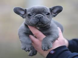 best 25 french bulldog ideas on frenchie puppies