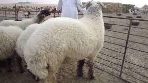 الجرم اكبر خروف في العالم world's biggest sheeps - YouTube