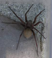 I Live In Thousand Oaks California And Found This Large Brown Spider