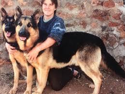 difference between german shepherd and alsatian dog. Wonderful Shepherd Olderhill German Shepherd Dog GSDAlsatian Puppies For Sale From The Only  Breeder To Difference Between And Alsatian T