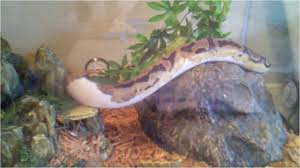 zoo med forest floor cypress mulch ball python piebald lower white enclosure with cypress mulch