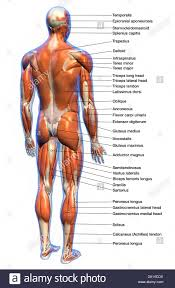 Anatomy Chart Muscular System Labeled Anatomy Chart Of Full Body Male Muscular System