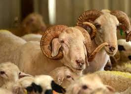 Kurban nasıl kesilir? Kurban eti nasıl dağıtılır? Kurban kesildikten sonra  kılınan namaz