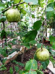 How To Grow Fruit Trees In Pots  Plant Position  Watering When Do You Plant Fruit Trees