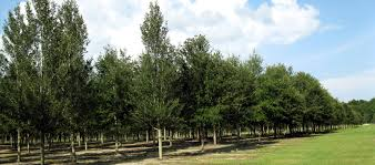 Oak Tree Growth Rate Chart Live Oak Tree Facts