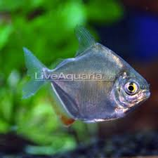 Silver Dollar Fish Compatibility Chart Tropical Fish For Freshwater Aquariums Silver Dollar