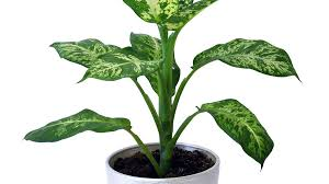 Best Plants That Suit Your Bathroom   Fresh Decor Ideas further  furthermore Flamingo Flower   Anthurium   Tropical Delight   Great indoor additionally 31 Low Light Houseplants That You Shouldn't Miss Out   Hort Zone likewise  moreover Best 25  High humidity ideas on Pinterest   Cool braids  Air also 10 Best Low Light Houseplants   Costa Farms together with 10 Best Low Light Houseplants   Costa Farms furthermore House Plants   San Jose   Payless Hardware  Rockery   Nursery further  moreover Indoor Plants Low Light   HGTV. on low light high humidity houseplants