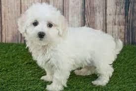 maltipoo breeders by state the