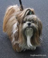 <b>Shih Tzu Dog</b> Breed Information and Pictures
