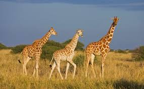 pictures of a giraffe. Simple Pictures Giraffe To Pictures Of A 9