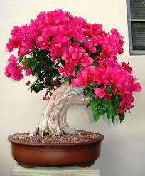 Bougainvillea <b>bonsaï</b> | <b>Бонсай</b> растения, Красивые цветы, Цветы ...