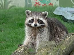 Raccoon Classification Chart Raccoon Procyon Lotor Animals A Z Animals