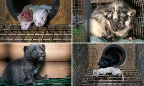 Sickening footage shows cannibalised mink, decomposing fox and ...