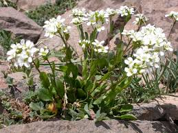 Noccaea montana - Wikipedia