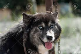 black husky puppies with blue eyes. Fine With Black Siberian Husky Dog With Blue Eyes Looking At Camera Stock Photo   57555864 To Husky Puppies With Blue Eyes