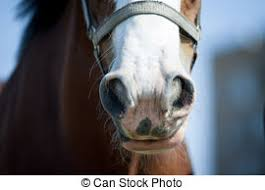 draft horse head profile. Unique Draft Draft Horse Nose Closeup To Draft Horse Head Profile D