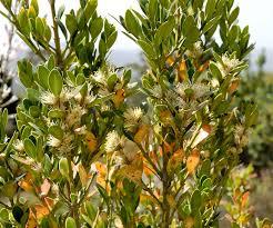 Buxus balearica - EUFORGEN European forest genetic resources ...