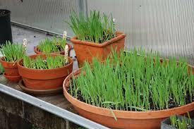 how to grow pet grass pet grass for