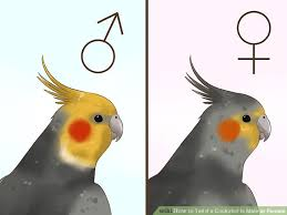 Cockatiel Chart 3 Ways To Tell If A Cockatiel Is Male Or Female Wikihow