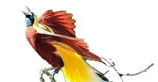 Species cendrawasih terbanyak ditengarai ada di indonesia. 101 Gambar Burung Cendrawasih Png Gratis Terbaru Gambar Hewan