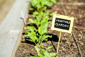 early summer in urban green vegetable garden note soft focus at 100