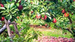 Moonglow Pear Pollination Chart Do Pear Trees Need To Cross Pollinate Funsabiam Com Co