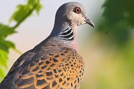 (nabu) und dem landesbund für vogelschutz in bayern (lbv) geführt wird. Vogel Des Jahres 2020 Die Turteltaube Nabu Vogel Des Jahres Vogel Im Garten Majestatische Tiere