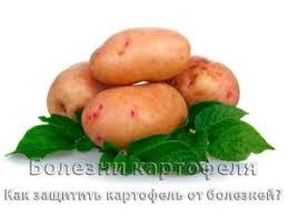 Болезни картофеля ru Болезни картофеля описание и фото
