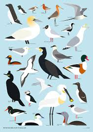 British Sea Bird Chart By Build Graphic Sea Birds