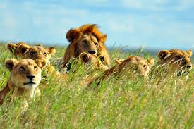 Image result for a male lion roaring