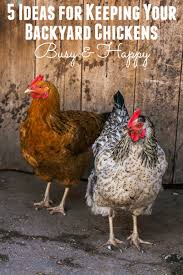 5 Ideas To Keep Your Backyard Chickens Busy  Happy MotheringHow To Keep Backyard Chickens