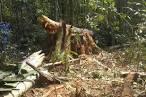 imagem de Seringueiras Rondônia n-10