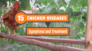 Chicken Disease Chart 15 Most Common Chicken Diseases Symptoms And Treatment