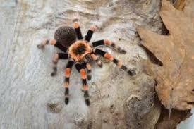 Tarantulas Identification Species Facts And Information