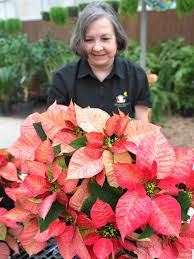 Poinsettias on pointe for the holidays