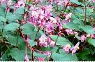 Begonia vivace