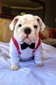 really cute english bulldog puppies. Wonderful Really English Bulldog Puppies Picture With Bow Tie Costume To Really Cute E