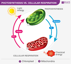Differences Between Cellular Respiration And Photosynthesis