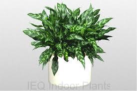 020 d aglaonema emerald beauty