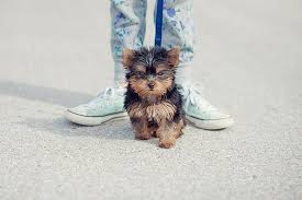 teacup puppy yorkie. Beautiful Puppy Teacup Yorkie Puppy And O